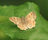Texas Powdered-Skipper - Systasea pulverulenta