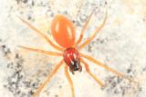 Walckenaeria communis (female)