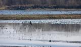 Snow Geese - Chen caerulescens (& Bald Eagles - Haliaeetus leucocephalus)