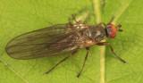 Orbellia sp.