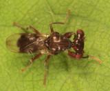 Stalk-eyed Fly - Sphyracephala subbifasciata