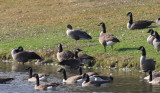 Pink-footed Goose - Anser brachyrhynchus