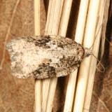 3520 – Acleris fuscana
