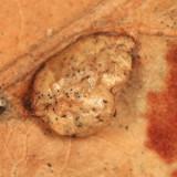 Macrodiplosis majalis (gall)