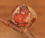Dasineura serrulatae (gall)