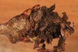 Apagodiplosis papyriferae