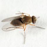 Brachydeutera longipes