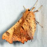 6797 - Maple Spanworm - Ennomos magnaria