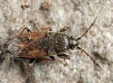 Megalonotus sabulicola