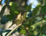 Pine Warbler - Setophaga pinus  (fall plumage)