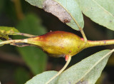 Willow gall