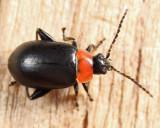 Spinach Flea Beetle - Disonycha xanthomelas