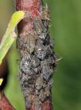 Giant Willow Aphids - Tuberolachnus salignus