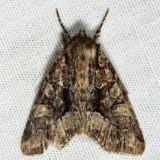 9419 - Adorable Brocade - Platypolia mactata