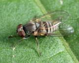 Platypeza anthrax (female)
