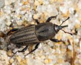 Bluegrass Billbug - Sphenophorus parvulus