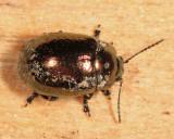 Klamath Weed Beetle - Chrysolina quadrigemina