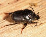 Bull Headed Dung Beetle - Onthophagus taurus