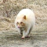 albino Common Raccoon - Procyon lotor