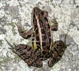 Pickerel Frog - Lithobates palustris