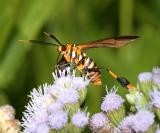 8287 -- Texas Wasp Moth -- Horama panthalon texana