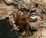 Pityohyphantes costatus (mating)