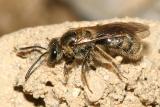 Lasioglossum rohweri? (Subgenus Dialictus)