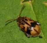 Capraita sexmaculata