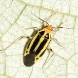 Plant Bugs - Miridae