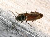 Liotrichus sagitticolllis