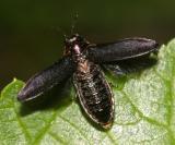 Eupristocerus cogitans