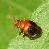 Marsh Beetles - Scirtidae