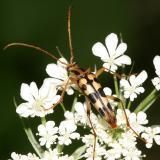 Strangalia luteicornis