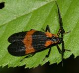 Banded Net-wing Beetle - Calopteron reticulatum