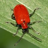 Lily Leaf Beetle - Lilioceris lilii