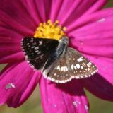 female Common Checkered-Skipper - Pyrgus communis