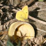 tiny Orange Sulphur - Colias eurytheme