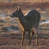 White-tailed buck - Odocoileus virginianus
