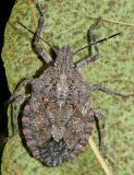 Brochymena quadripustulata