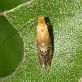 0228 -- Ridings' Fairy Moth -- Adela ridingsella