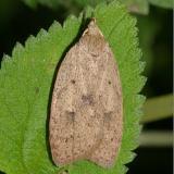 0951 - Gold-striped Leaftier Moth -- Machimia tentoriferella