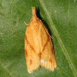 Tortricidea Moths 2701-3863