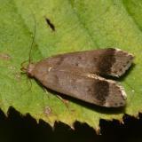 2235 - Anacampsis fragariella