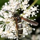 2524 -- Dusky Clearwing Moth -- Paranthrene tabaniformis