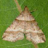 8338 - Dark-banded Owlet Moth - Phalaenophana pyramusalis