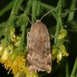 11012 -- Catocaline Dart Moth -- Cryptocala acadiensis