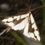 8112 -- Confused Haploa Moth -- Haploa confusa