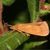 8123 - Rusty Virbia - Virbia ferruginosa