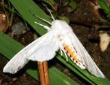 8137 -- Virginian Tiger Moth -- Spilosoma virginica