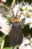 8267 -- Yellow-collared Scape Moth -- Cisseps fulvicollis